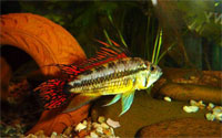 apistogramma_cacadu_orange