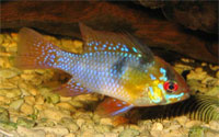 apistogramma_germany_blue