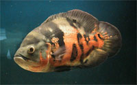 astronotus_tigr_red