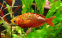 aterina_red