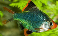barbus_green